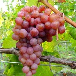 Les vertus du raisin sur la beauté