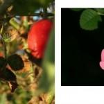 L'huile végétale de rose musquée, un antiâge naturel