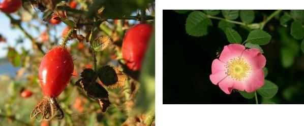huile de rose musquée vertus